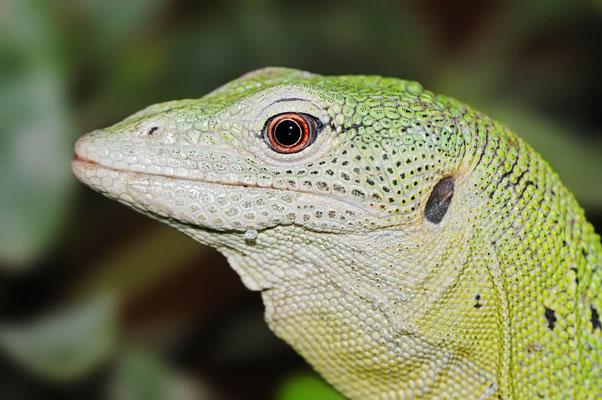 Smaragdwaran (Varanus prasinus) / ch015346