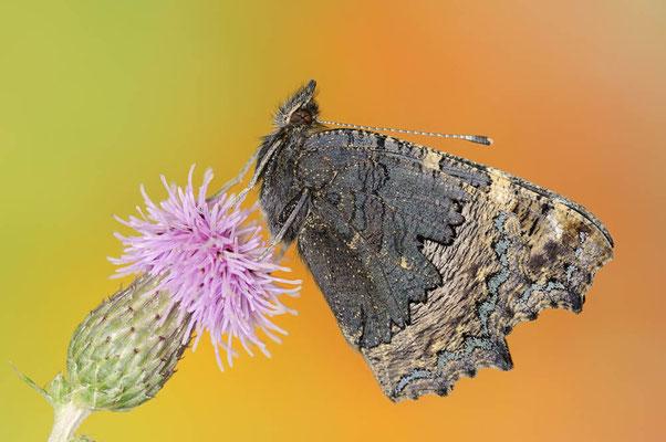 Kleiner Fuchs (Nymphalis urticae, Aglais urticae) / ch117640