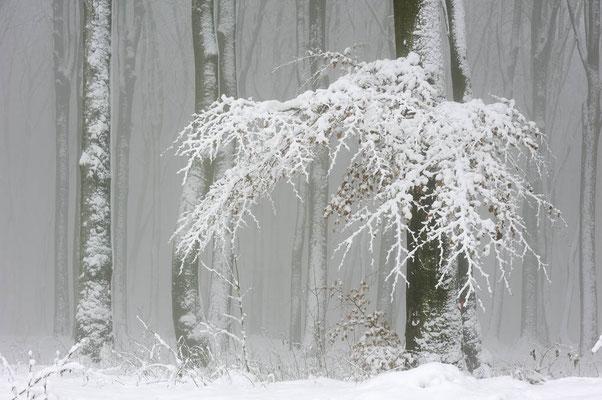 Rotbuchen (Fagus sylvatica) im Winter, Nordrhein-Westfalen / ch103784