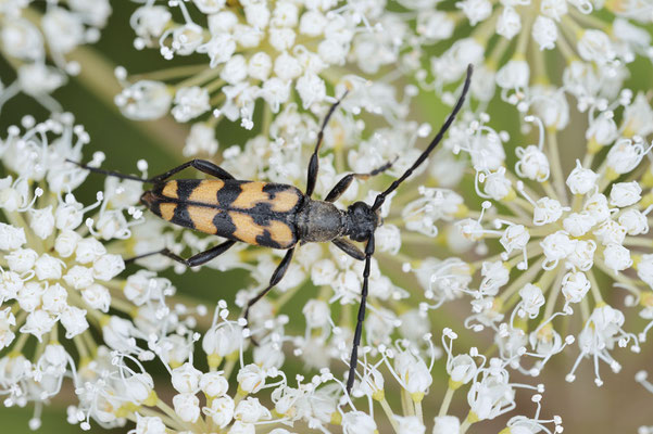 Vierbindiger Schmalbock (Leptura quadrifasciata, Strangalia quadrifasciata) / ch181606