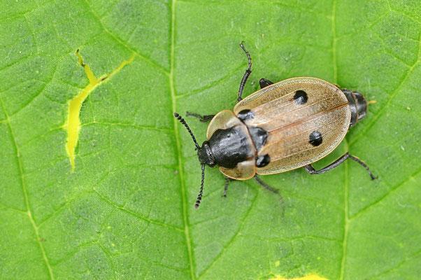 Vierpunktiger Aaskäfer oder Vierpunktiger Raupenjäger (Dendroxena quadrimaculata) / ch088545