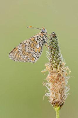 Wegerich-Scheckenfalter (Melitaea cinxia) / ch109318