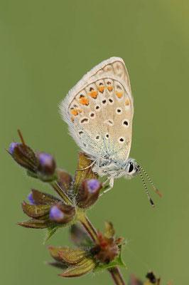 Hauhechel-Bläuling (Polyommatus icarus) / ch091041