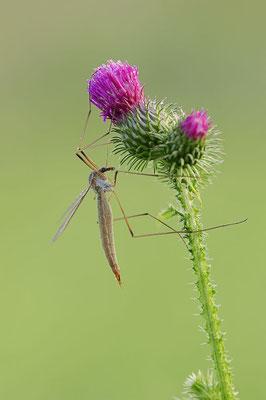 Wiesenschnake (Tipula paludosa) / ch098298