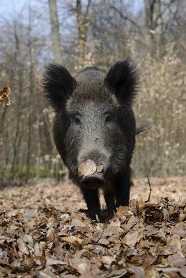 Europäisches Wildschwein (Sus scrofa scrofa) / ch142127