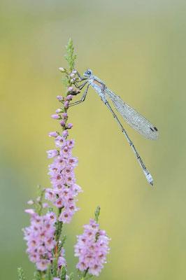Gemeine Binsenjungfer (Lestes sponsa) / ch174617