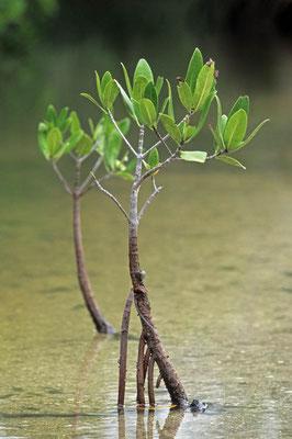Rote Mangrove (Rhizophora mangle) / chs04986