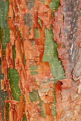 Amerikanischer Balsambaum (Bursera simaruba) / ch069644