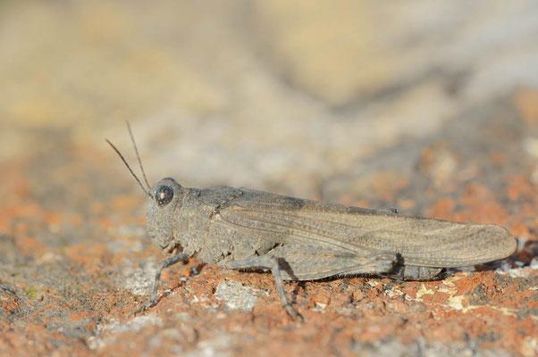 Blauflügelige Sandschrecke (Sphingonotus caerulans) / ch174578
