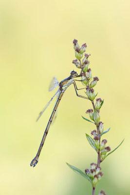 Gemeine Weidenjungfer (Lestes viridis, Chalcolestes viridis) / ch151586