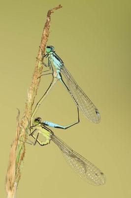 Große Pechlibelle (Ischnura elegans) / ch096211