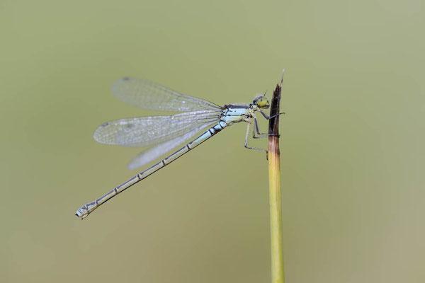 Kleines Granatauge (Erythromma viridulum) / ch138385