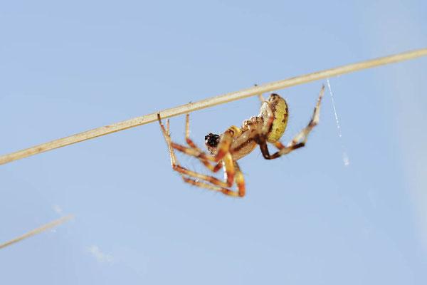 Vierfleck-Kreuzspinne (Araneus quadratus) / ch168667