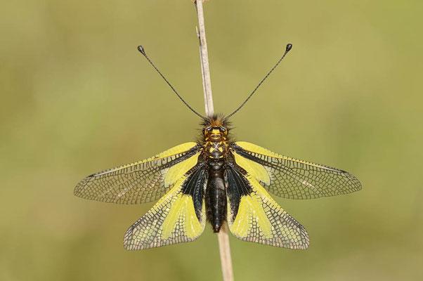 Libellen-Schmetterlingshaft (Libelloides coccajus) / ch091185