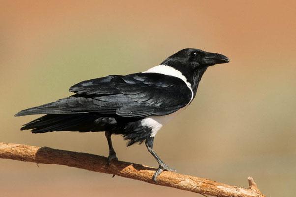 Schildrabe (Corvus albus) / chs05089