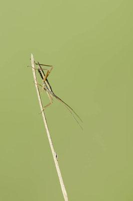 Grasweichwanze (Notostira elongata) / ch168461