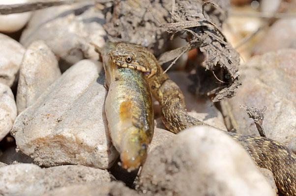 Würfelnatter mit erbeutetem Fisch (Natrix tessellata) / ch109485