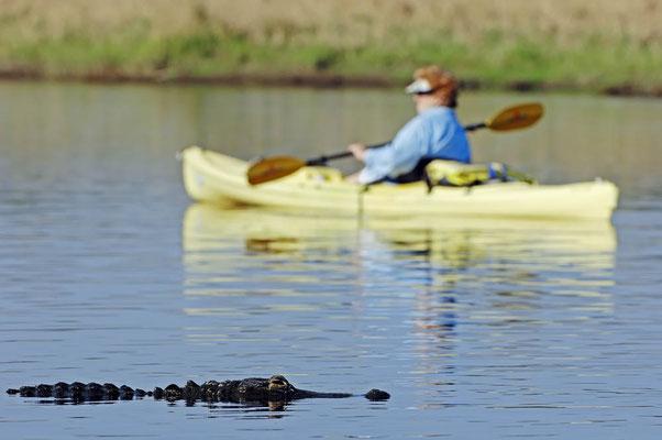 Mississippi-Alligator (Alligator mississippiensis) / ch023350
