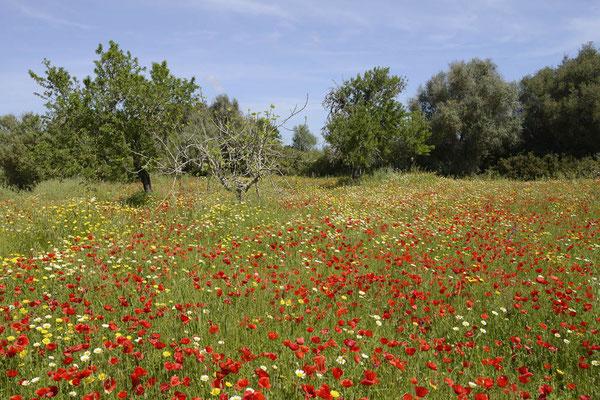 Blumenwiese, Mallorca, Spanien / ch154966