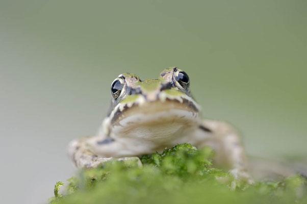 Kleiner Wasserfrosch (Pelophylax lessonae) / ch118295