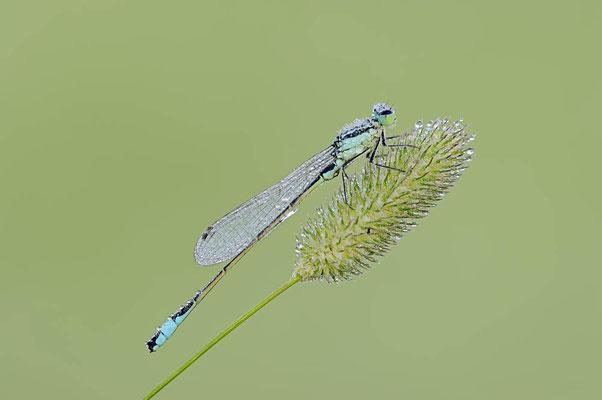 Große Pechlibelle (Ischnura elegans) / ch096183