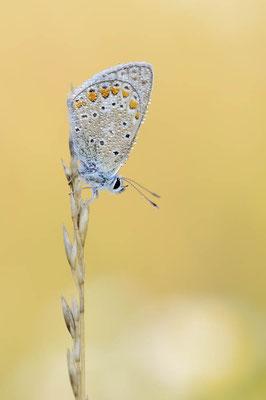 Hauhechel-Bläuling (Polyommatus icarus) / ch138422