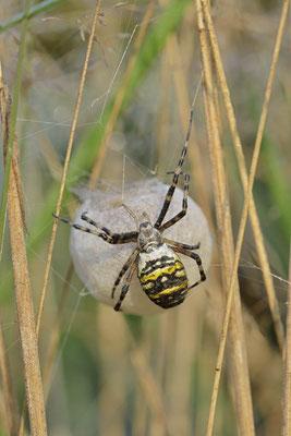 Wespenspinne, Weibchen mit Eikokon (Argiope bruennichi) / ch168995