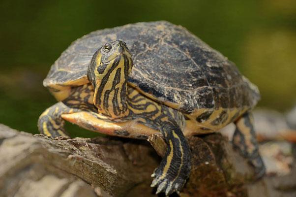 Gelbwangen-Schmuckschildkröte (Trachemys scripta scripta) / ch070250
