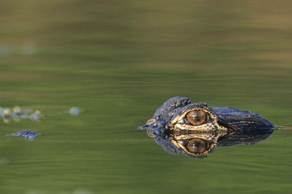 Mississippi-Alligator (Alligator mississippiensis) / chs02751