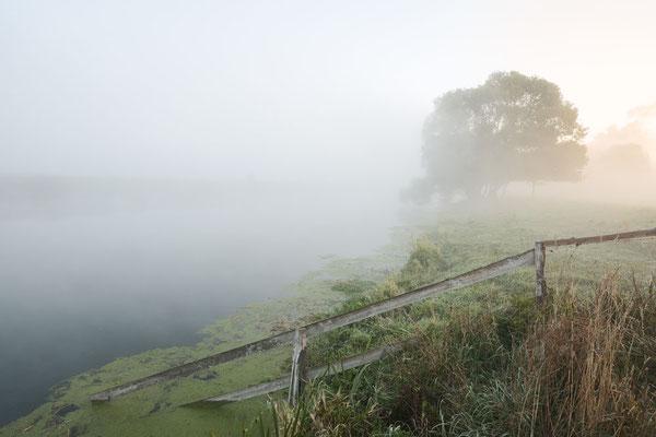 Silber-Weide (Salix alba) an der Lippe im Morgennebel, Nordrhein-Westfalen /  ch184943