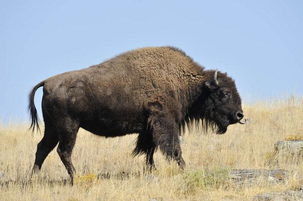Amerikanischer Bison (Bos bison, Bison bison) / ch057869