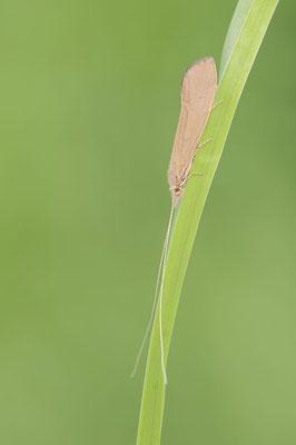 Köcherfliege (Trichoptera) / ch177665