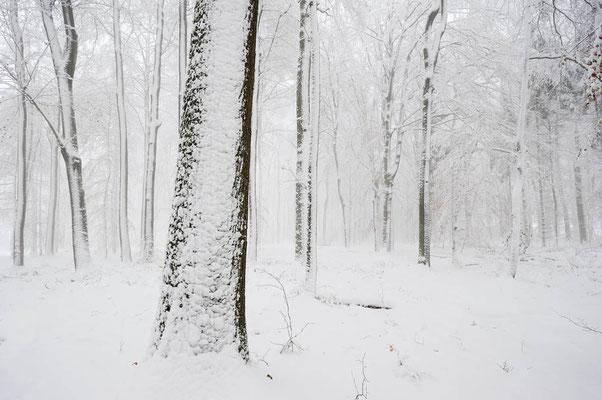 Rotbuchen (Fagus sylvatica) im Winter, Nordrhein-Westfalen / ch103736