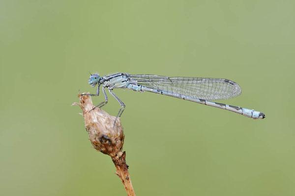 Gemeine Becherjungfer (Enallagma cyathigerum) / ch167959