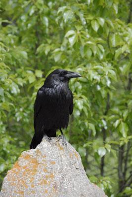 Kolkrabe (Corvus corax) / ch159351