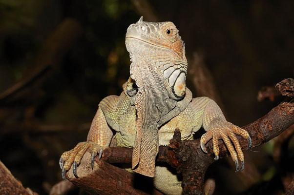 Grüner Leguan (Iguana iguana) / ch079802