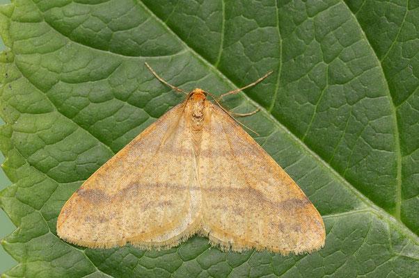 Orangegelber Breitflügelspanner (Agriopis aurantiaria) / ch124225