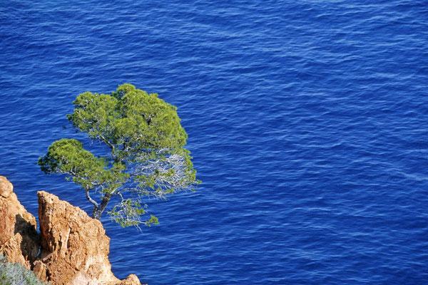 Pinie an der Küste, Esterel-Gebirge, Provence, Frankreich / chs02473