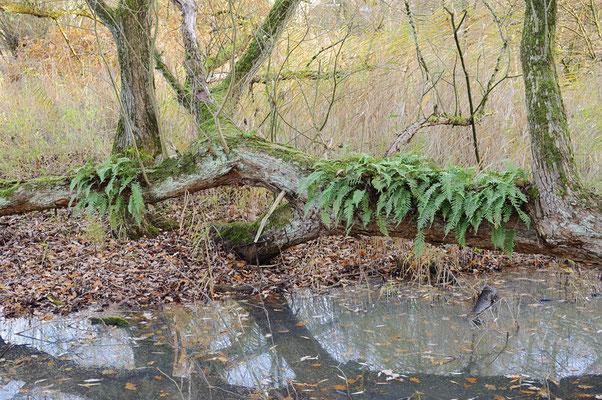 Rippenfarn (Struthiopteris spicant, Blechnum spicant) auf Baumstamm im Herbst, Nordrhein-Westfalen / ch196905