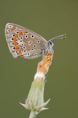 Kleiner Esparsetten-Bläuling (Polyommatus thersites) / ch109362
