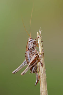 Gemeine Strauchschrecke (Pholidoptera griseoaptera) / ch098266