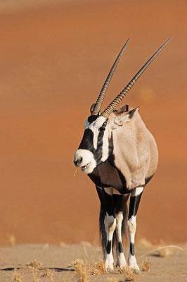 Spießbock (Oryx gazella) / chs05134