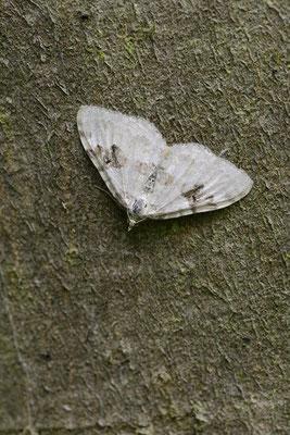 Schwarzbraunbinden-Blattspanner (Xanthorhoe montanata) / ch144720