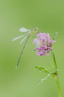 Gemeine Weidenjungfer (Lestes viridis, Chalcolestes viridis) / ch127106
