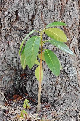 Würgfeige (Ficus aurea) / ch069932