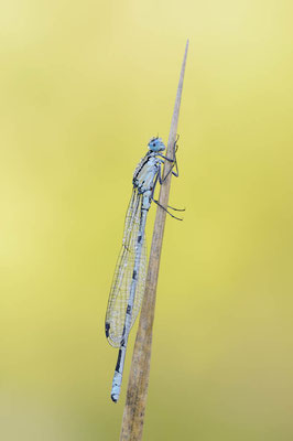 Gemeine Becherjungfer (Enallagma cyathigerum) / chst0009