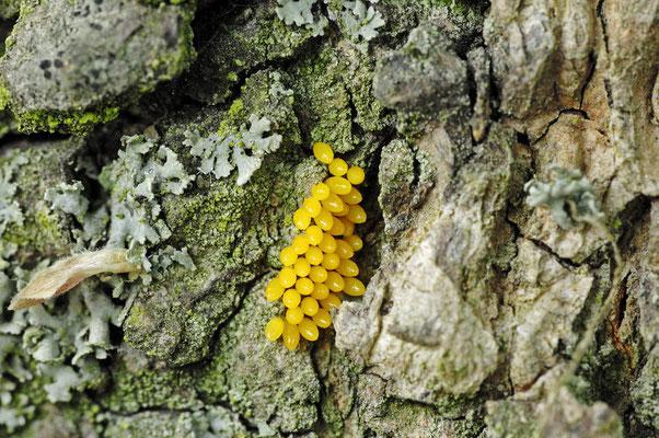 Siebenpunkt-Marienkäfer, Eier (Coccinella septempunctata) / ch034778