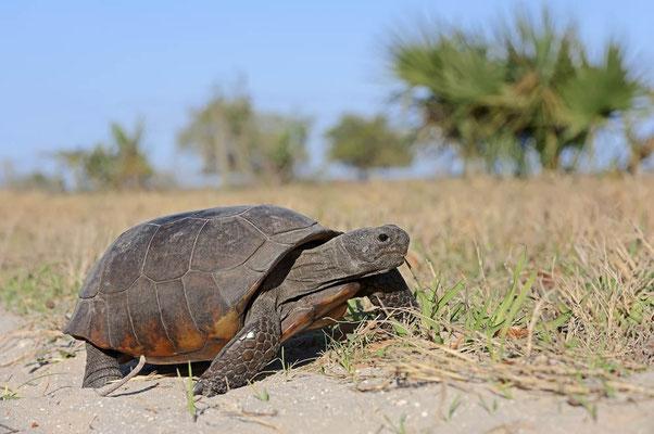Gopherschildkröte (Gopherus polyphemus) / ch063975