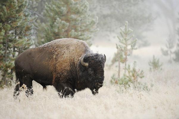 Amerikanischer Bison (Bos bison, Bison bison) / ch057753