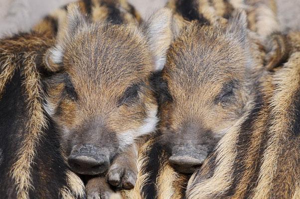 Europäisches Wildschwein (Sus scrofa scrofa) / ch182061